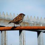 Spatz auf Stange (Sparrow On Rod)