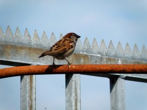 Spatz auf Stange (Sparrow On Rod)